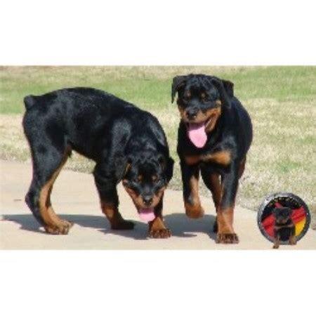rottweiler puppies for sale atlanta ga der korperkraft rottweilers dkv rottweilers rottweiler breeder in atlanta