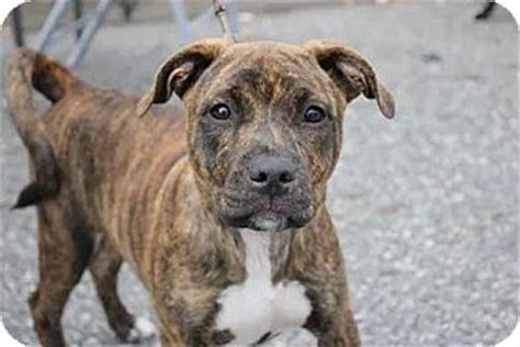 shar pei pitbull mix puppies elsa adopted puppy ny american pit bull terrier shar pei mix