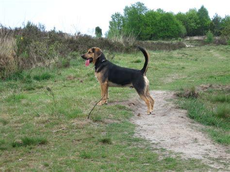 rottweiler beagle beagle x rottweiler breeds picture
