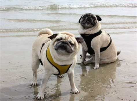 what does the pug say day the pug