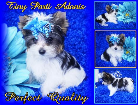 parti colored yorkies for sale parti yorkie puppies for sale loi s loveable pups puppy for sale parti yorkie breeders