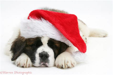 1000 images about st bernard doggie on pinterest st