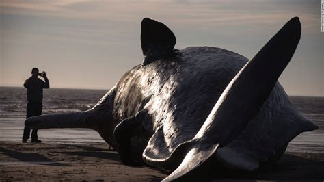 Three Dead Sperm Whales Washed Ashore On English Beach Whale Laundry