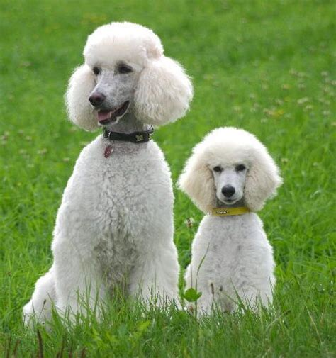 different poodle haircuts simple poodle haircuts poodles pinterest poodle
