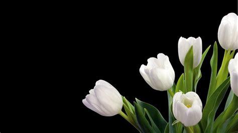 wallpaper bunga lily wallpaper bunga tulip putih bersih pesonadunia