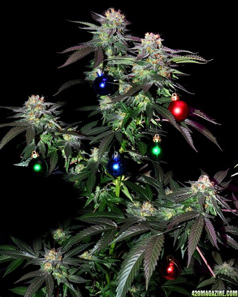 10 best weed christmas trees that will lift your christmas