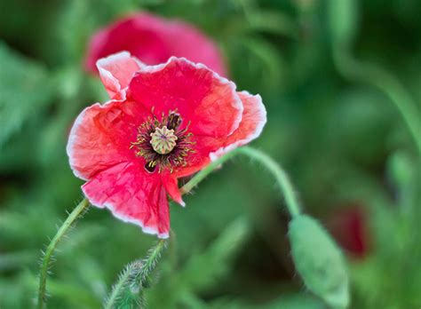 beautiful colors of poppy flower flickr photo sharing