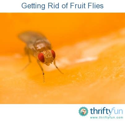 Getting Rid Of Fruit Flies In Kitchen by 14 Best Kill Bugs Images On Pest How
