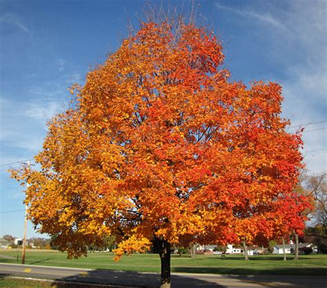 maple tree guide acer saccharum sugar maple tree in fall colors country flickr