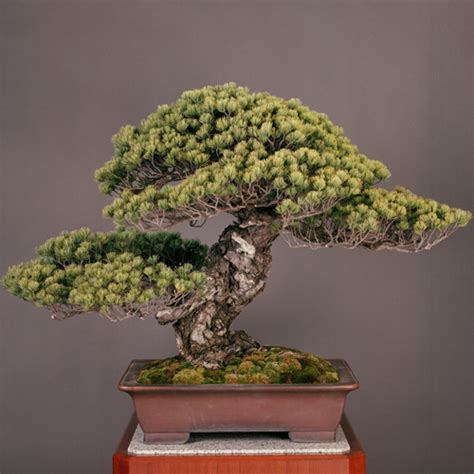 old bonsai tree this 550 year old japanese white pine titled quot third