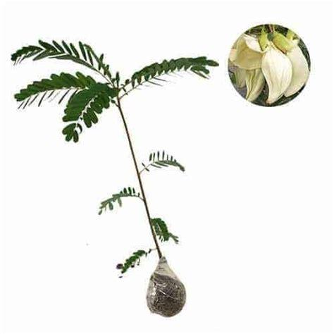 Bibit Tanaman Turi Putih jual tanaman turi putih white agati bibit