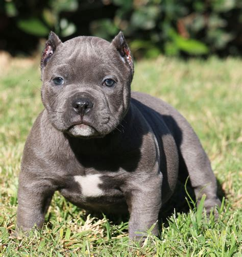 pocket bully puppies 2