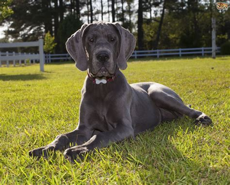 types of large dogs how to decide upon a puppy food for large and breeds of pets4homes