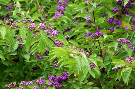 All Year Flowering Shrubs - callicarpa bodinieri for a profusion of violet berries in autumn igrowhort