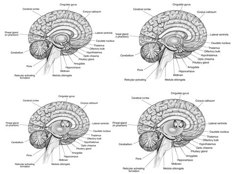 parts of the diagram blank brain diagram amygdala all parts of inside brain