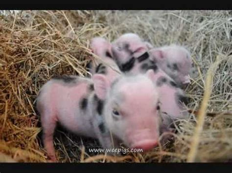 precious cute wee pig  piglets are adorable little funny