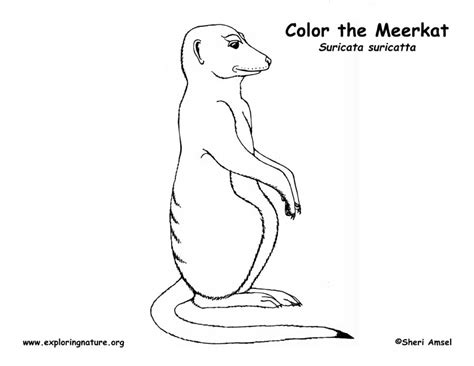 Meerkat Coloring Page Meerkat Colouring Pages