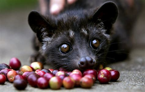 Kopi Luwak Coffee what is cat coffee aka kopi luwak coffee