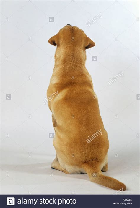 chdogs golden retriever back view www imgkid the image kid has it