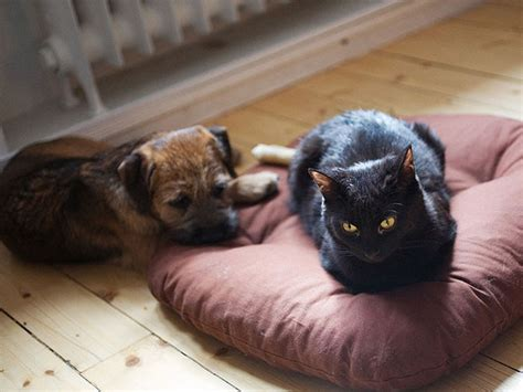 cats stealing dogs beds 10 asshole cats who stole dog beds and didn t give a damn