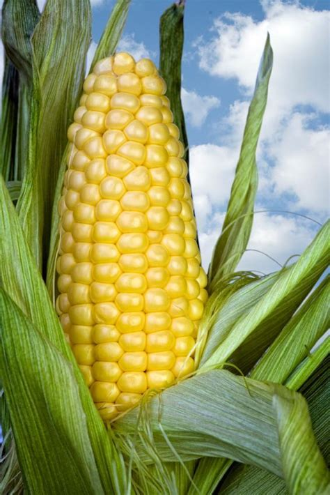 Corn L by Maize Zea Mays L Genome Diversity As Revealed By Rna