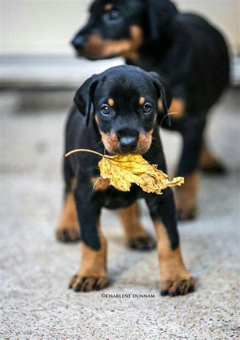 doberman pinscher puppies 25 best ideas about doberman puppies on doberman pinscher puppy adorable