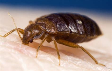 bed bugs causes bed bugs can transmit parasite that causes chagas disease