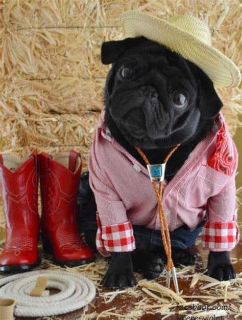 clothes with pugs on them 15 pugs who dress to impress for every occasion