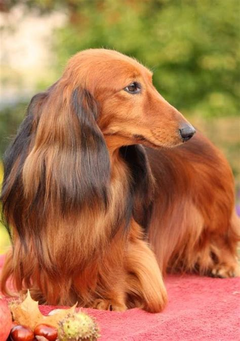 hair weenie 43 best chocolate dachshunds images on chocolates dachshund puppies and