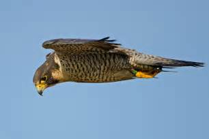 Room Drawing App peregrine falcon audubon field guide