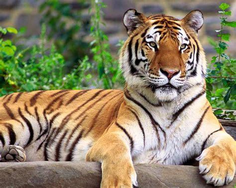 Harimaun Sumatera harimau sumatera macan gambarbinatang
