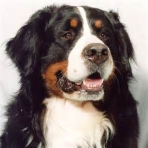 How to care for a bernese mountain dog the dogs breeds