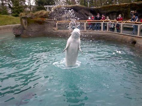 zoo lights pt defiance beluga whale at point defiance zoo aquarium 02 04 09