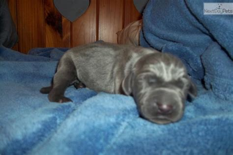 weimaraner puppies for sale in indiana blue weimaraner puppy for sale near bloomington indiana 32dc45cb 4131