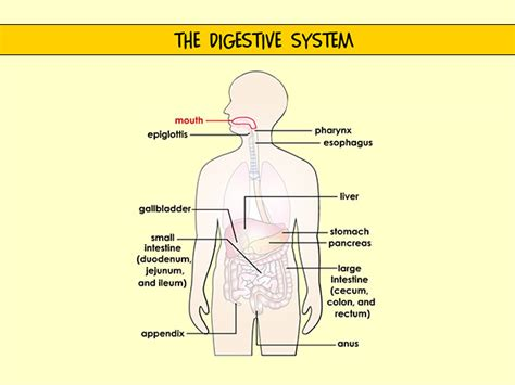 what is the first section of the large intestine digestive system 100 more photos