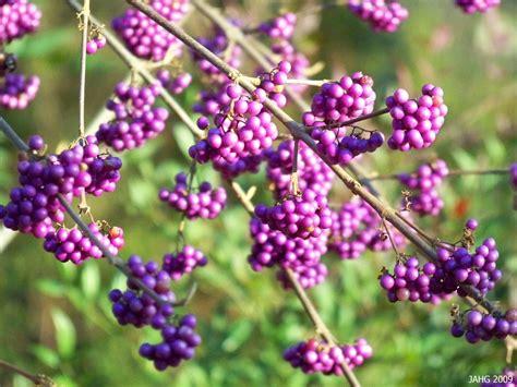 purple berries name that plant