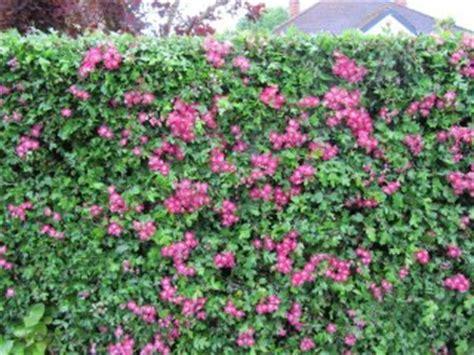Petit Arbuste Fleuri by Bien Choisir Les Arbustes Pour Composer Une Haie Fleurie