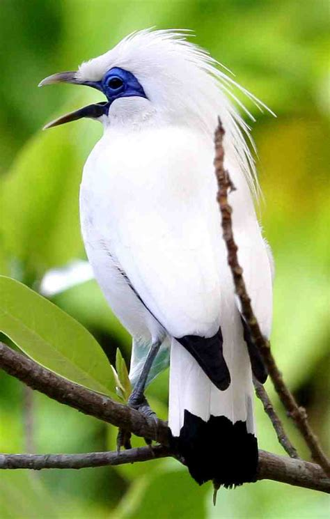 jalak bali birds with white color bali orti tour and travel guide in bali news