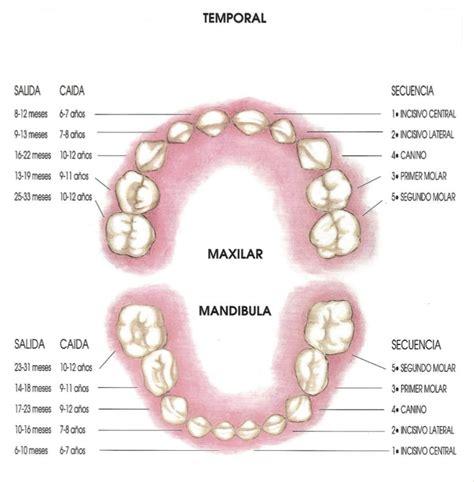 cuantos aos se estudia para ser doctor 191 cuantos dientes tenemos y cuando salen cl 237 nica bernal