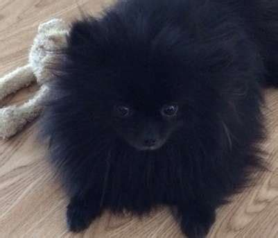 teacup pomeranian for sale melbourne 25 best ideas about pomeranian puppies for free on teacup pomeranian