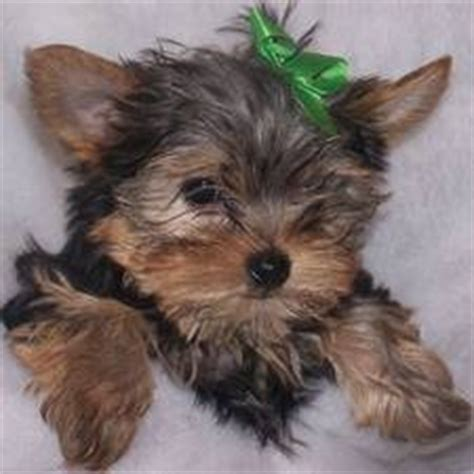 yorkie puppies ta terrier sale ireland terrier puppies buy buy terrier