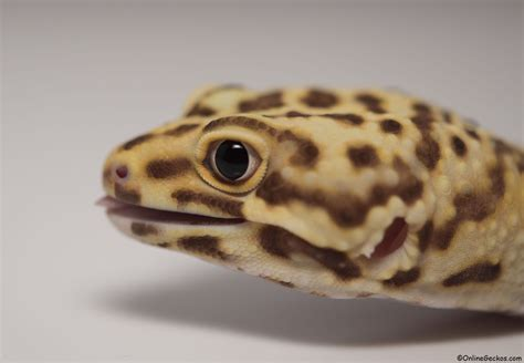 leopard gecko heat l what to feed gecko lizards wiring diagrams repair wiring
