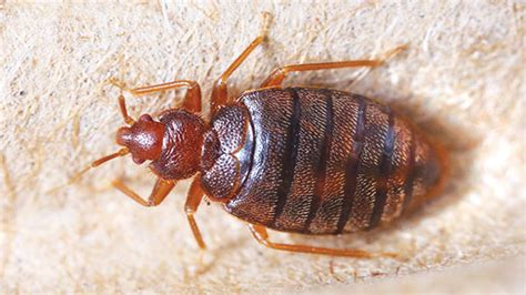 home remedies to get rid of bed bugs home remedies to get rid of bed bugs theindependentbd com