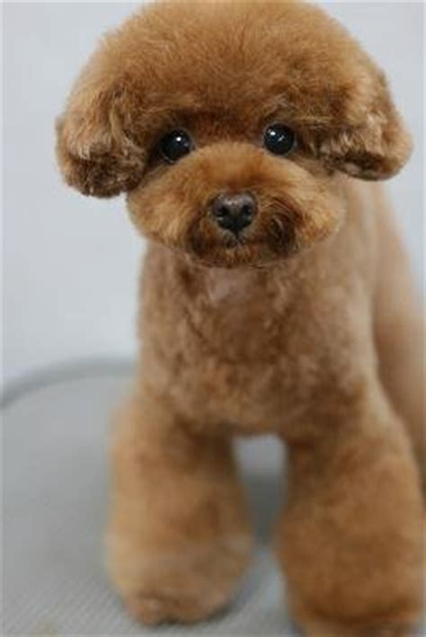 miniature french poodle hairstyles looking for suggestions poodle forum standard poodle