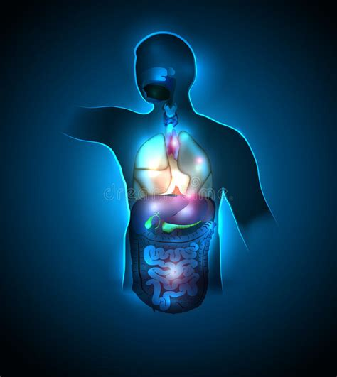 anatomia corpo umano organi interni organi interni corpo umano illustrazione vettoriale