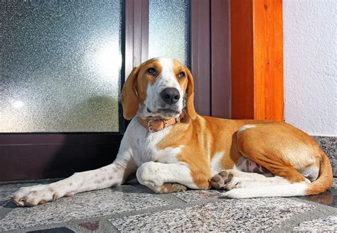 pictures of hound dogs beautiful istrian shorthaired hound photo and wallpaper beautiful beautiful