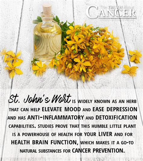 Does St S Wort Detox Opioids From Your Liver by St S Wort Plant A Known Cancer Aid
