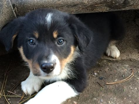 border collie puppies colorado border collie puppies from isds reg parents the farming forum