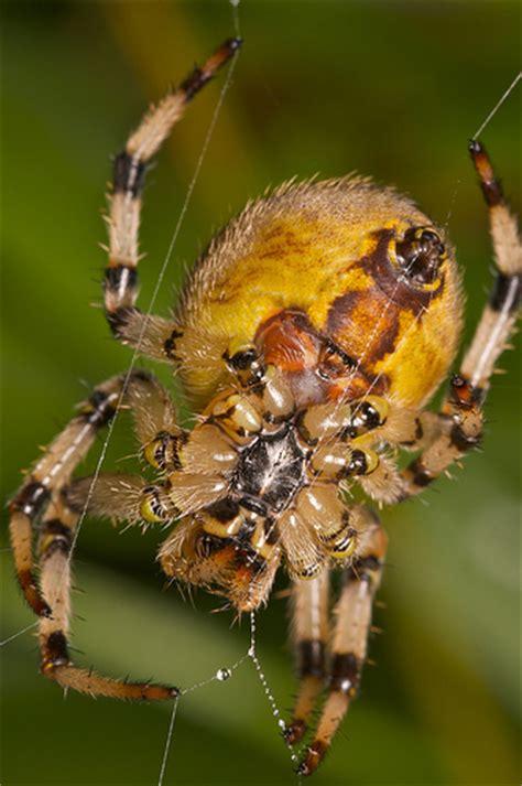 Garden Spider Big Large Garden Spider Flickr Photo