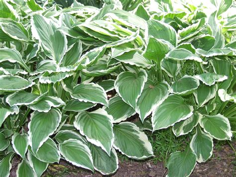 hosta albomarginata medium sized green and white